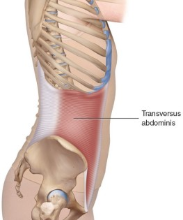 Transversus-Abdominis-right-lateral-view-812x1024